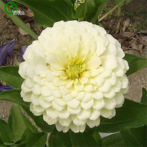 Graines Fleur rose ~ Showy Fragrant Fleurs Evergreen graines de zinnia jardin plante décoration 30pcs H023