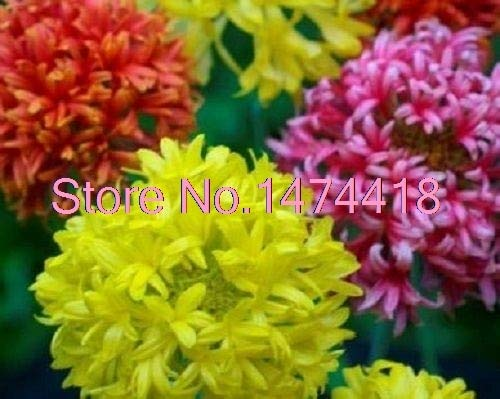 Green Seeds Co. bonsaï 30 graines/pack Couverture indienne Double Gaillardia Flower Mix Jardin Bonsaï