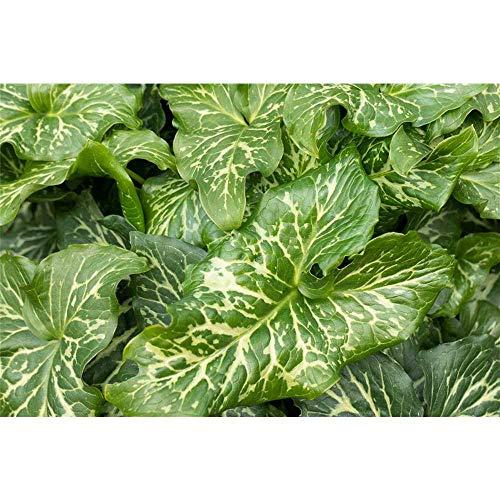 Arum italicum 'Pictum' - Garten-Aronstab...