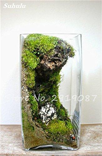 100 Pcs rares mousse verte Graines exotiques Graines Bonsai Moss Belle Moss Boule décorative Jardin créatif herbe Graines Plante en pot 9