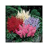 GARTHWAITE NURSERIES® : - 4 Mixed Astilbe Arendsii (Mixed Colours) Bare Root Perennial Garden Summer Perennial