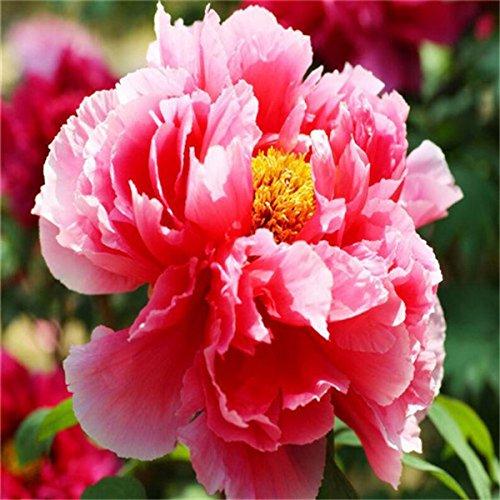 5 pièces/sac graines de pivoine, jaune, graines de fleurs de pivoine rose chinoise belles graines de bonsaï plantes en pot pour le jardin de la maison 3