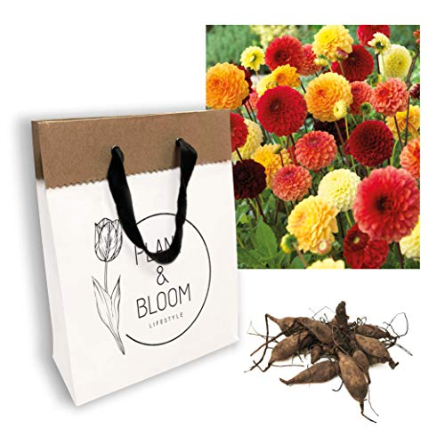 Plant & Bloom Dahlia Flower Bulbs Mix from Holland, 3 bulbs - Easy to Grow Pompom and Ball Dahlia Tubers For Spring Planting in Your Garden - Yellow Red Blooms - Lovely Combi