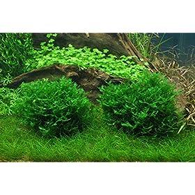 Tropica Aquarium Pflanze Moos Monosolenium tenerum