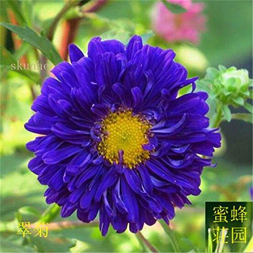 Aster graines de graines de fleurs de vanille Variété de la cire turquoise Jiangxi graines chrysanthème environ 100 graines 8