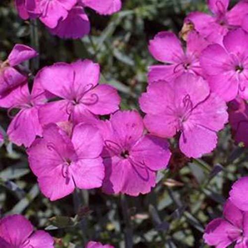 Dianthus gratianop. 6 Stück Pfingstnelke Baby Lom Nelke Bodendecker winterhart
