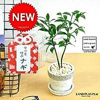 LAND PLANTS 観葉植物 縁結びの木(梛:ナギ) 石模様のセメントポット Sサイズ 陶器鉢 熊野三山