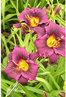 5 Bulbs of Daylily Grape Magic (1-2 Fan Plants)