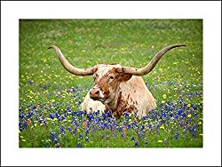 Longhorn cow in bluebonnets