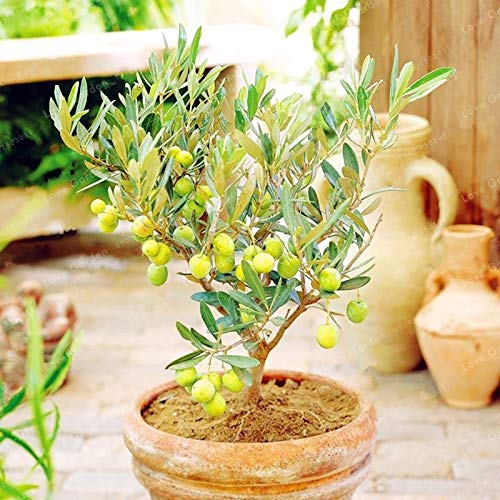 Bloom Green Co. 10PCS Rare Bonsaï olivier (Olea europaea) plante Bonsai frais plante arbre exotique Mini Olive Olive Tree Bonsai Jardin Fournitures