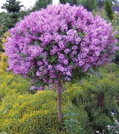 GETSO 100pcs / Bag japanischen Bonsai Lilac Bonsai Lilac (Extremely Fragrant) Carnation Blume Pflanze Bonsai Flieder Bäume im Freien für Home: 1
