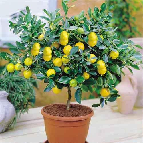 Shopmeeko Bonsai 30pcsseeds / pack Zitronenbaum Hohe Überlebensrate Obst Für Zuhause Gatden Balkon Bonsai