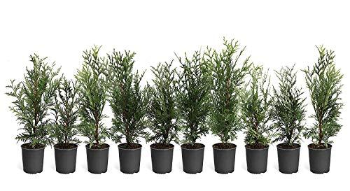 Thuja Arborvitae Green Giant - 10 Live Quart Size Plants - Evergreen Privacy...