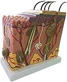 皮膚の構造のモデルは、解剖学的モデルサイズモデルは、-helpと訓練の科学的研究の可視化のための先進的な解剖学をペイント50X-