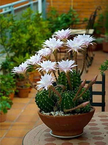 Three Echinopsis oxygona Easter Lily Cactus Cacti...
