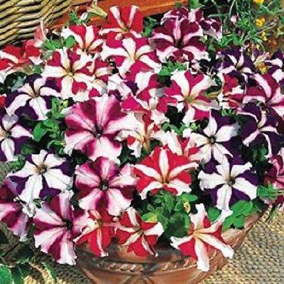 vegherb 50 Pelletierte Petunia Samen Ultra-Mix Petunia Samen