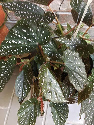 PLAT FIRM SEMI DI GERMINAZIONE: Engelsflügel Begonia Dotsy; gut Starter Pflanze wurzelt