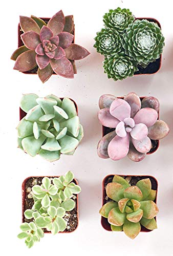 Shop Succulents   Soft Hue Collection Assortment of Hand Selected, Fully Rooted Live Indoor Pastel Tone Succulent Plants, 6-Pack