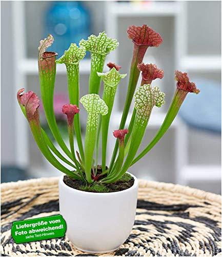 BALDUR-Garten Schlauchpflanze Jutathip Soper, 1 Pflanze Fleischfressende Pflanze Zimmerpflanze