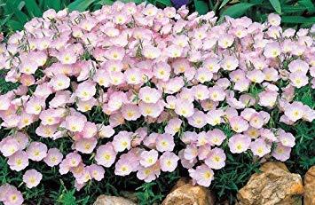 GEOPONICS Rosa Primrose Samen, Nachtkerze, Erbstck Blume, Großblumensamen 500ct