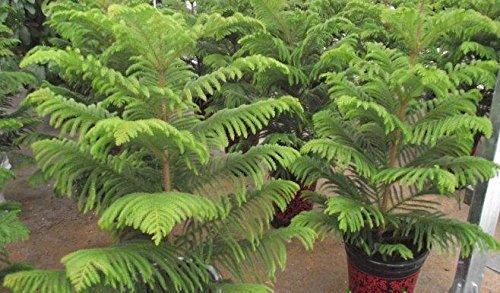 20pcs vente chaude rares graines d'arbres baie de Moreton de pin Facile à cultiver les semences d'arbres araucaria cunninghamii Accueil jardin Livraison gratuite