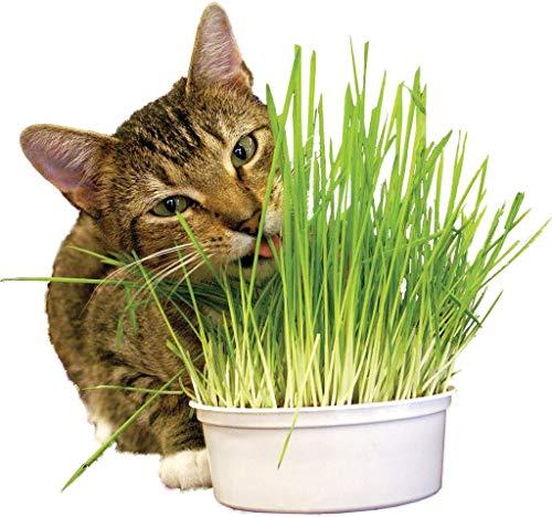 Kit d'Herbe à Chat prêt à Pousser – Sachet de 100g de graines équivalent à 45 Pots – Écologique – 100% Biologique – Pousse Rapide – Graines d'Herbe à Chat prêt à l'emploi – Idéal pour Vos Animaux