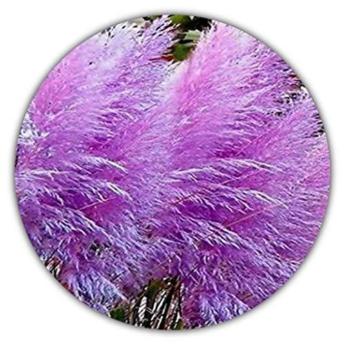 Paars pampagras (Cortaderia selloana) / siergras / 50 zaden/kleurrijke bloeiwijze in violet/roze