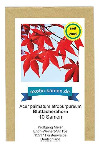 Roter Fächerahorn - Blutfächerahorn - 10 Samen