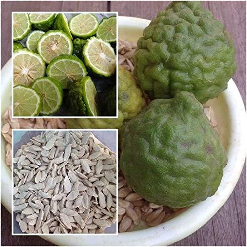 PLAT FIRM GRAINES DE GERMINATION: Kaffirkalk 100 Samen, Leech Kalk, Citrus hystrix, Kräuter Samen aus Thaïlande