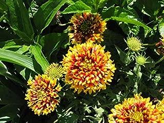 30 Sundance Bicolor Gaillardia Pulchella Indian Blanket Flower Seeds #SFB