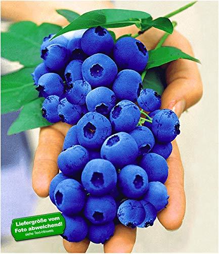 BALDUR Garten Gartenheidelbeeren 'NUI', 1 Pflanze, Blaubeeren Heidelbeeren Pflanz, Vaccinium corymbosum reichtragend
