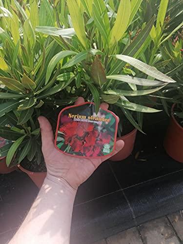 Oleander 50-70 cm Topf 19 cm Nerium oleander Rot -Emile Sahut-