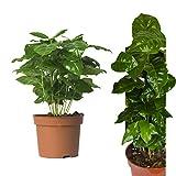 Echte Kaffeepflanze coffea arabica ca. 30cm - pflegeleichter Kaffeestrauch zum selber wachsen...