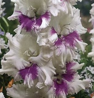 (2) Kirov Gladiolus, White & Purple Flowers, Fresh Flowering Large Sized Bulbs, Nice addition to your Garden, Unique Color