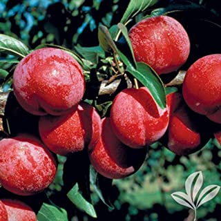 bruce plum tree