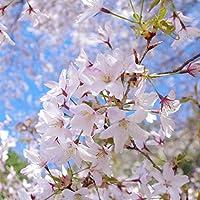 桜(サクラ):熊野桜(クマノザクラ)実生苗5号ポット