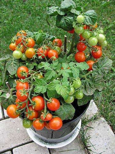 Portal Cool Tomate Balcon Rouge F1 Graines 10 Graines Accueil Tomates Ukraine