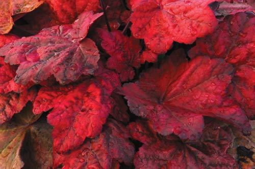 3 x Heuchera Hybride 'Autumn Leaves' (Purpurglöckchen) 1 Liter Topf