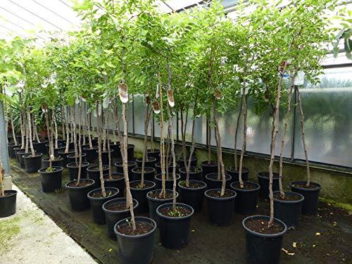 Dattel 180 cm Dattelbaum 6-8 cm Stammumfang, Ziziphus jujuba,