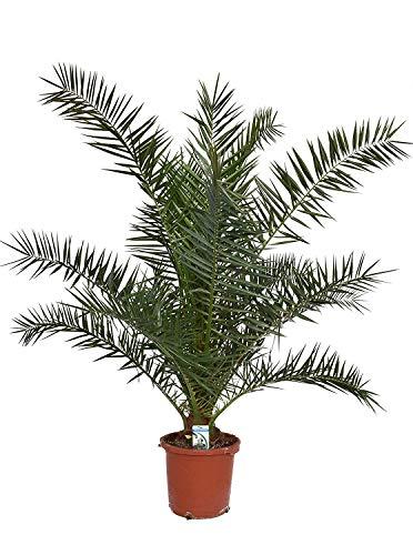 Kanarische Dattelpalme 100-120 cm - Phoenix canariensis - Phönixpalme