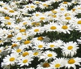 Daisy Chrysanthemum Dwarf Shasta Flower Seed #LKY