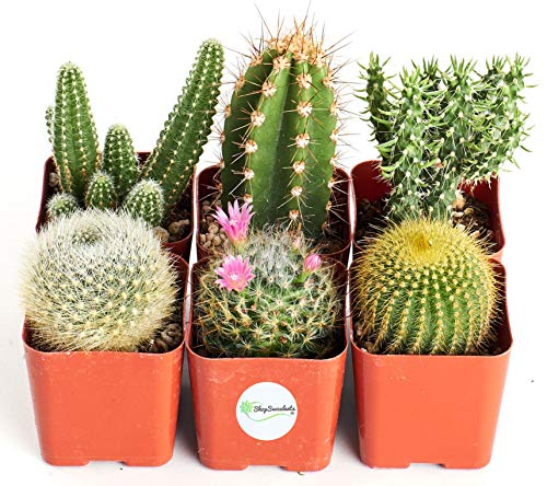 "Shop Succulents Touch This 2"" Cactus Pack, Collection of 6"