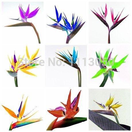 100pcs / pack.Flower macetas jardineras Strelitzia reginae semillas híbridas de semillas paraíso de las aves Bonsai plantas Semillas para el hogar y el jardín