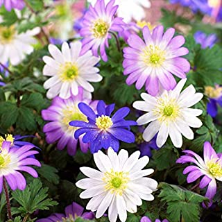 Blue, Pink, and White Anemone Blanda Flutter Mix - 20 Big Bulbs - 5/6 cm - Great Cut Flowers & Attractive to Butterflies | Ships From Easy to Grow TM