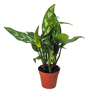 Maria Chinese Evergreen Plant - Aglaonema - Low Light - 4  Pot