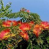 5 Orange Mimosa Tree Seeds Silk Tree Albizia Julibrissin Perennial Seed - Easy Grow