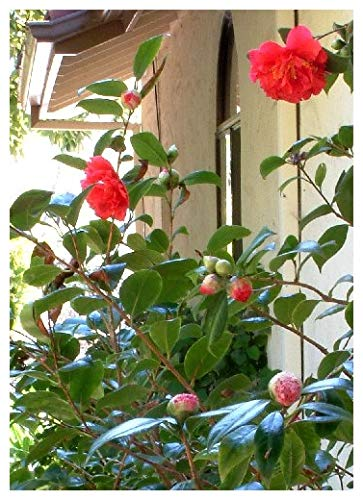 TROPICA - Japanische Kamelie - Rotblühend (Camelia japonica) - 4 Samen