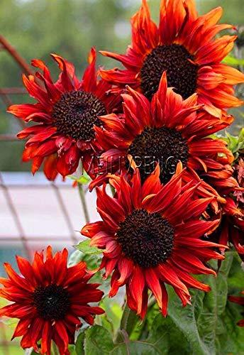 Kalash New 40Pcs Sunflower Blumensamen für Garten Red