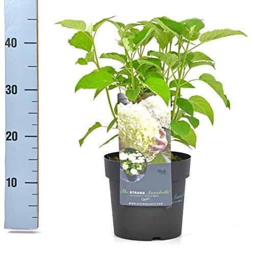 Ballhortensie Hydrangea arborescens...
