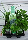 6 Pack of 9cm Mixed Herbs Plants Ready to Plant Out - 6 Varieties Per Pack